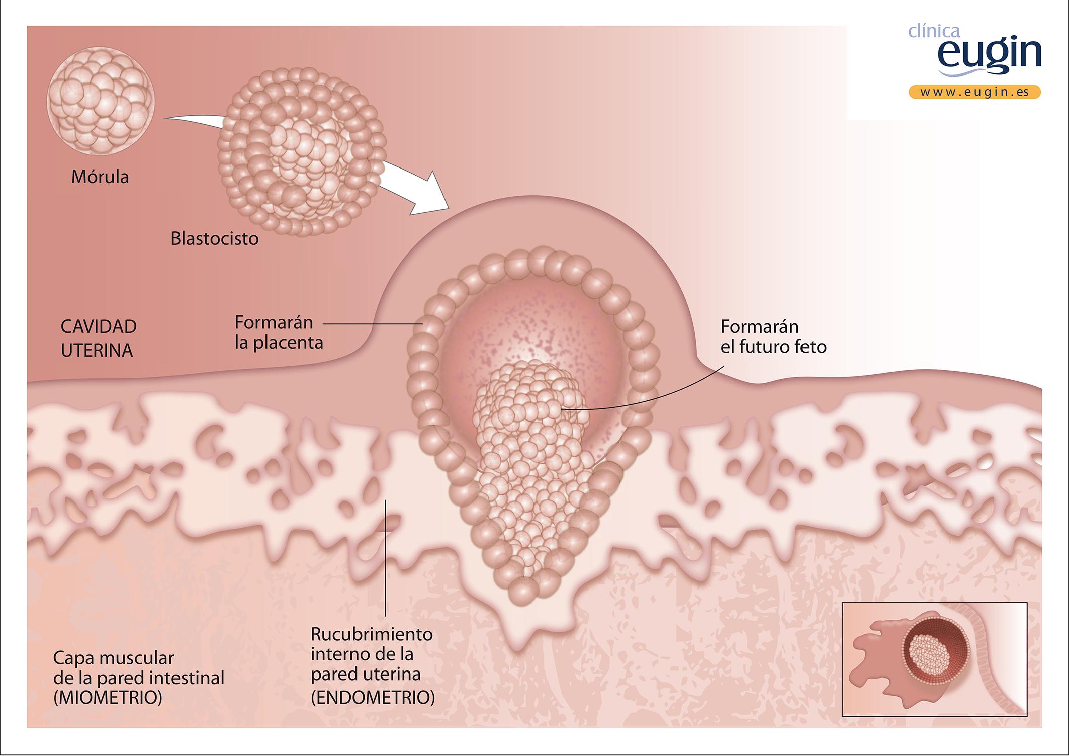 OK Implantación embrión.ai